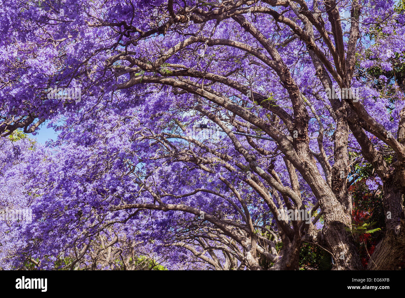 Jacaranda trees in full blossom in a residential street in Kirribilli, Sydney. - Stock Image