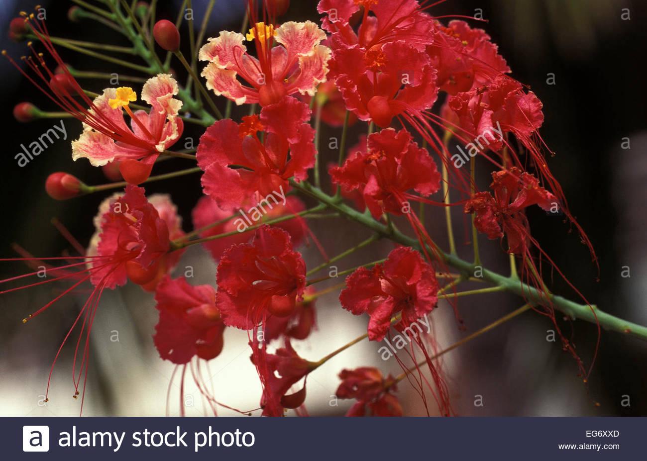 Flamboyant flower, Tahiti, French Polynesia - Stock Image