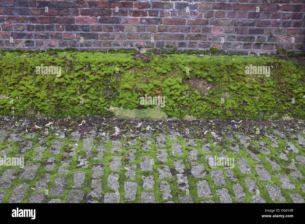 Build up of healthy looking green moss on an old wall. London, UK. Mosses are small flowerless plants that usually - Stock Image