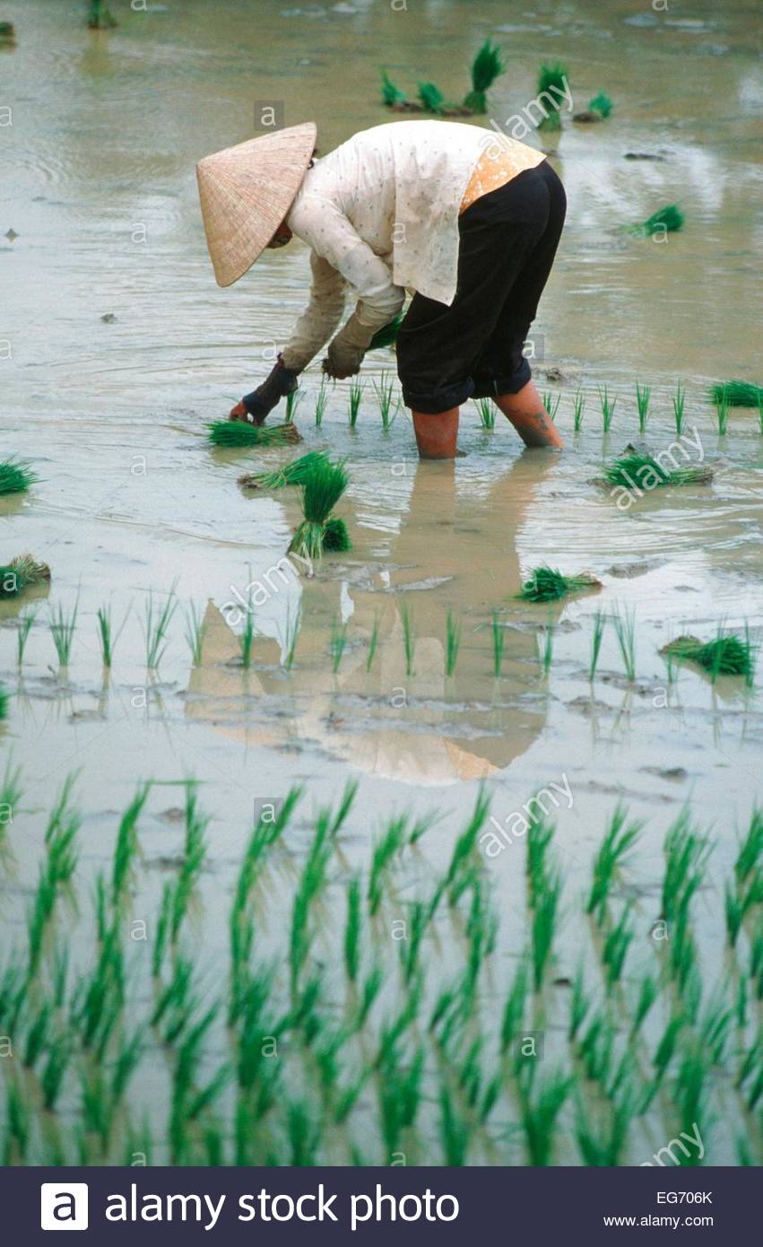 Vietnam, farmer at work in ricefield - Stock Image