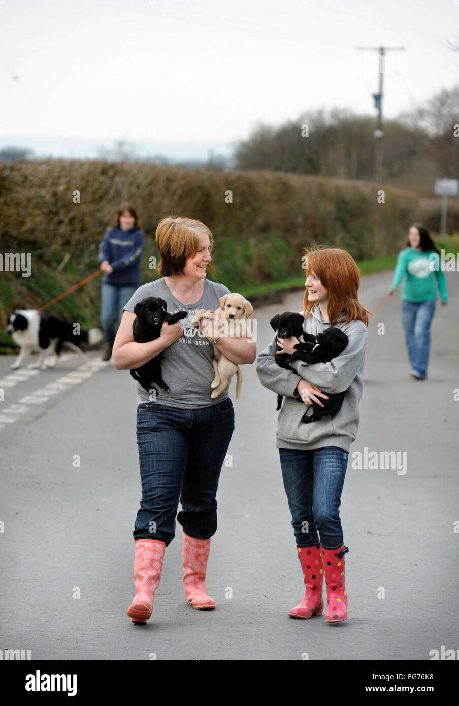 Volunteers exercising puppies at the Many Tears Animal Rescue centre near Llanelli, S. Wales UK - Stock Image