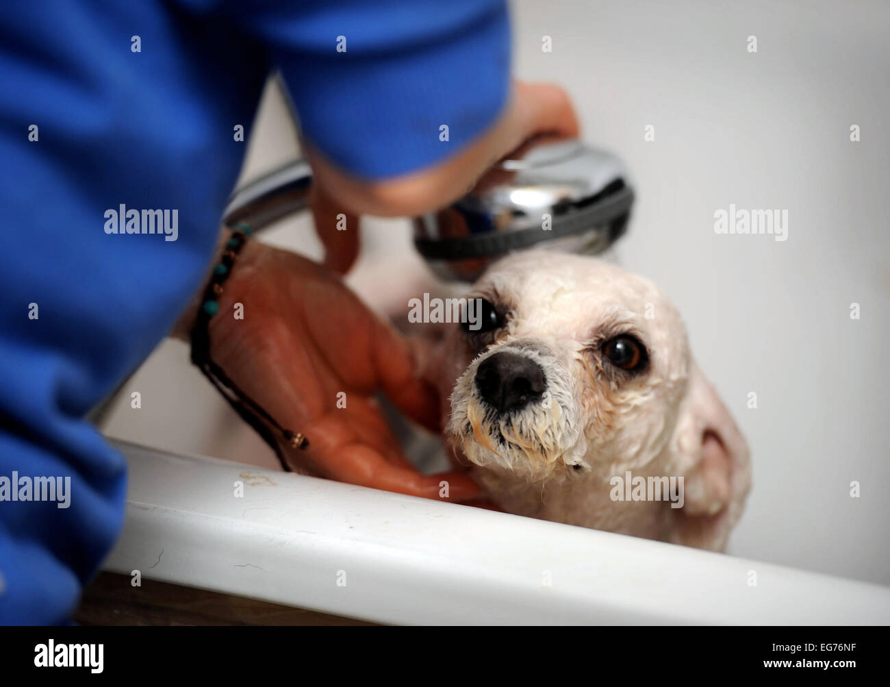 A rescued ex-breeding Bichon dog is given a bath on arrival at the Many Tears Animal Rescue centre near Llanelli, - Stock Image