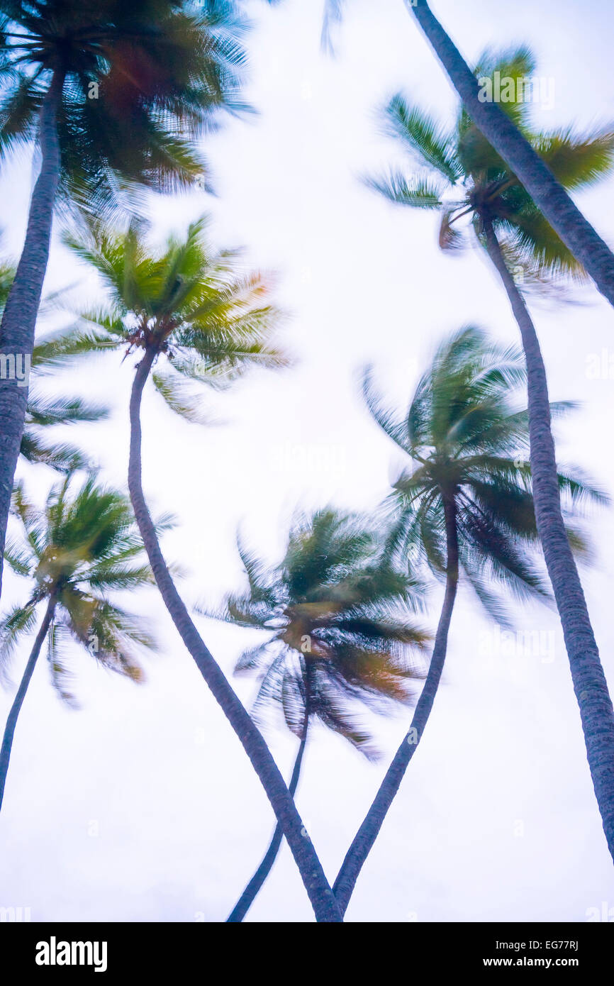 Maledives, Ari Atoll, view to palm tree tops at storm - Stock Image