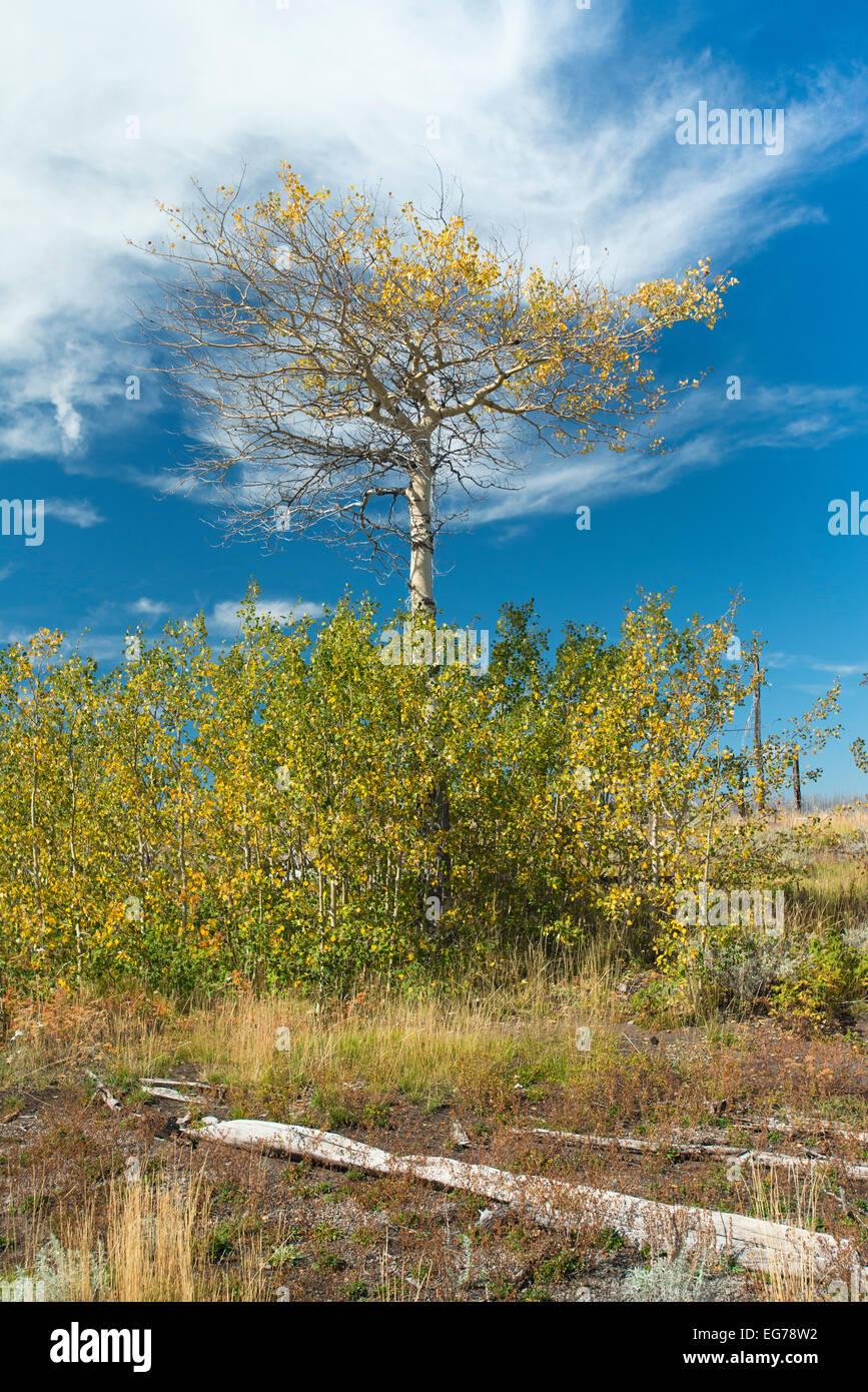 1385892b0a69e Lone tree on one of Yellowstone Lake s many islands Stock Photo ...
