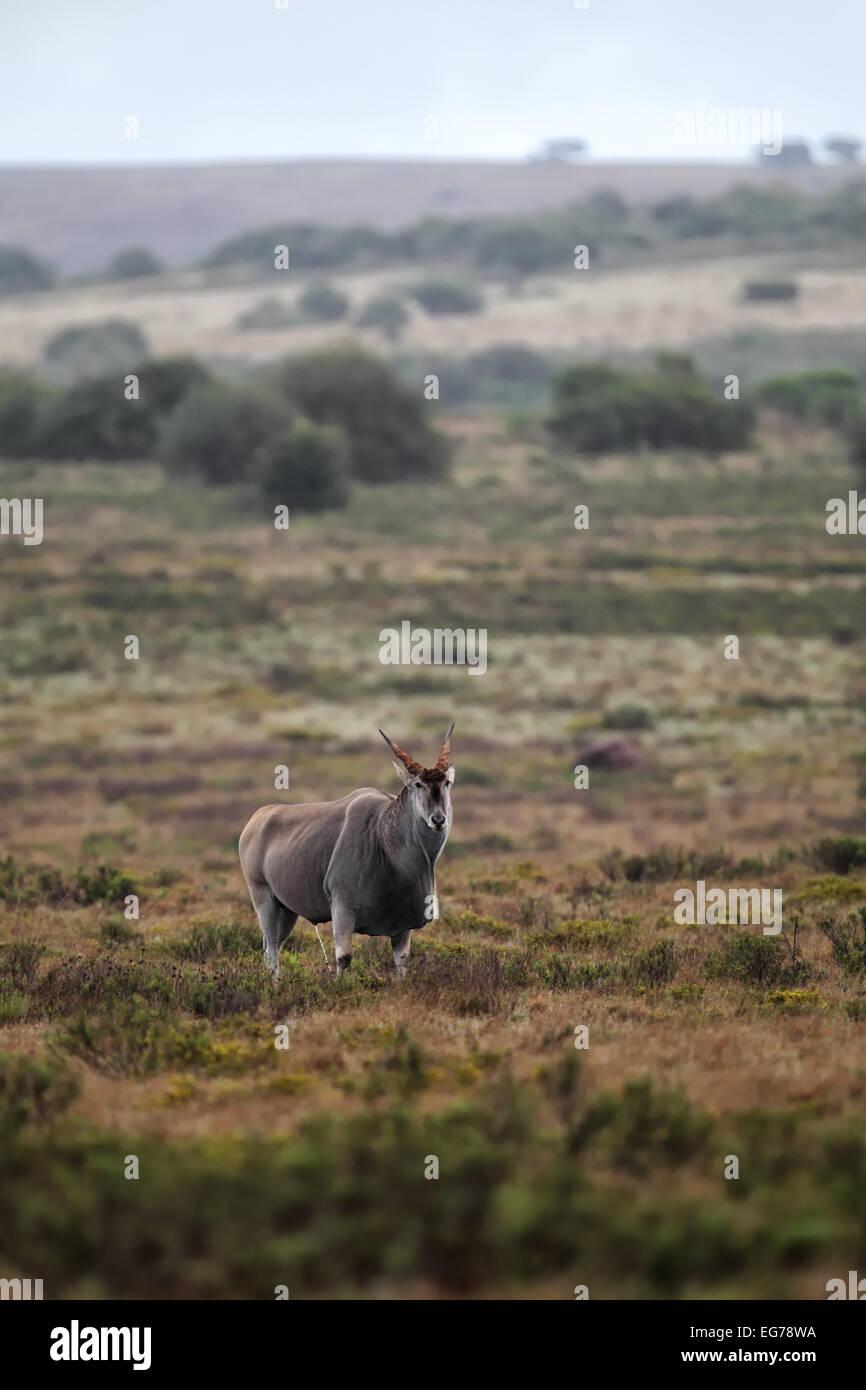 Elenantilope (Taurotragus oryx) im Amakhala Game Reserve, Eastern Cape, Südafrika. - Stock Image