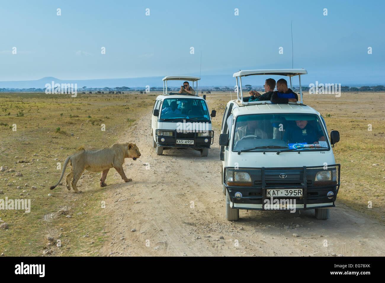 AMBOSELI, KENYA - September, 19, 2008: Lion safari in Amboseli National Park, Kenya - Stock Image