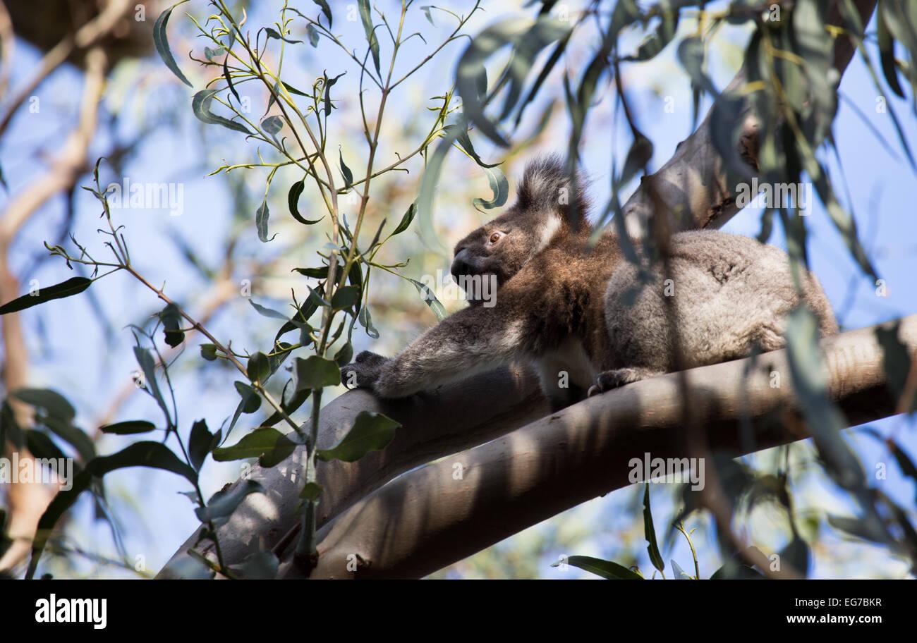 Wild koala photographed on Kangaroo Island, Australia Stock Photo