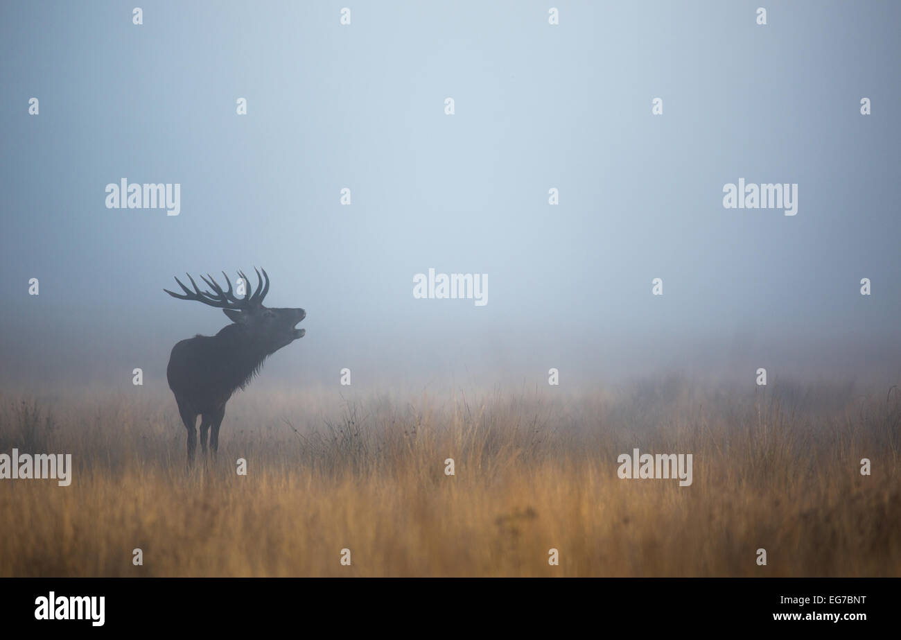 A red deer stag bellowing in the blue mist before sunrise in Richmond Park, London - Stock Image