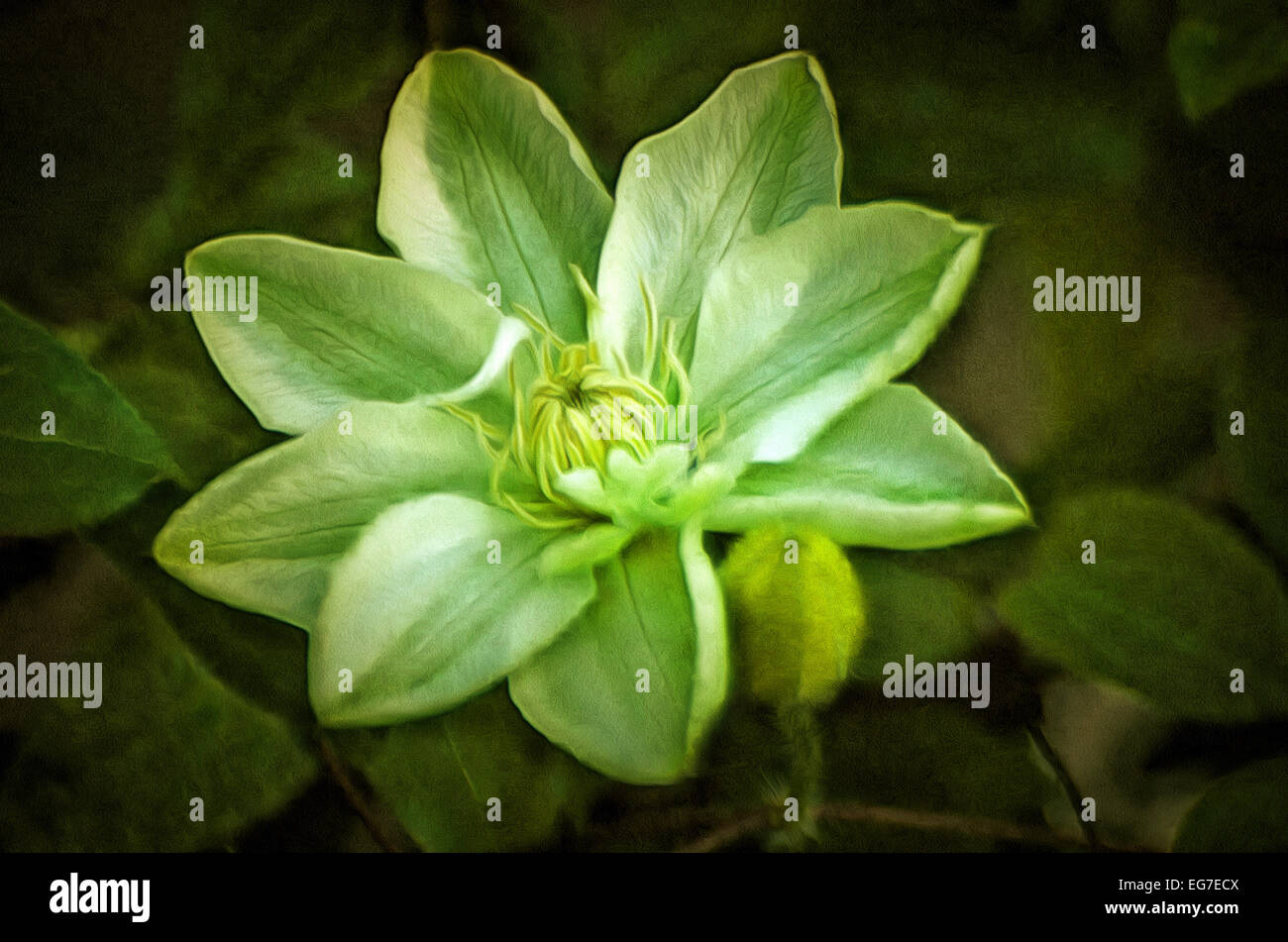 Clematis spinous (lat. Clematis aristata) - kind of heat-loving evergreen climbing shrub of the genus Clematis (Clematis) - Stock Image