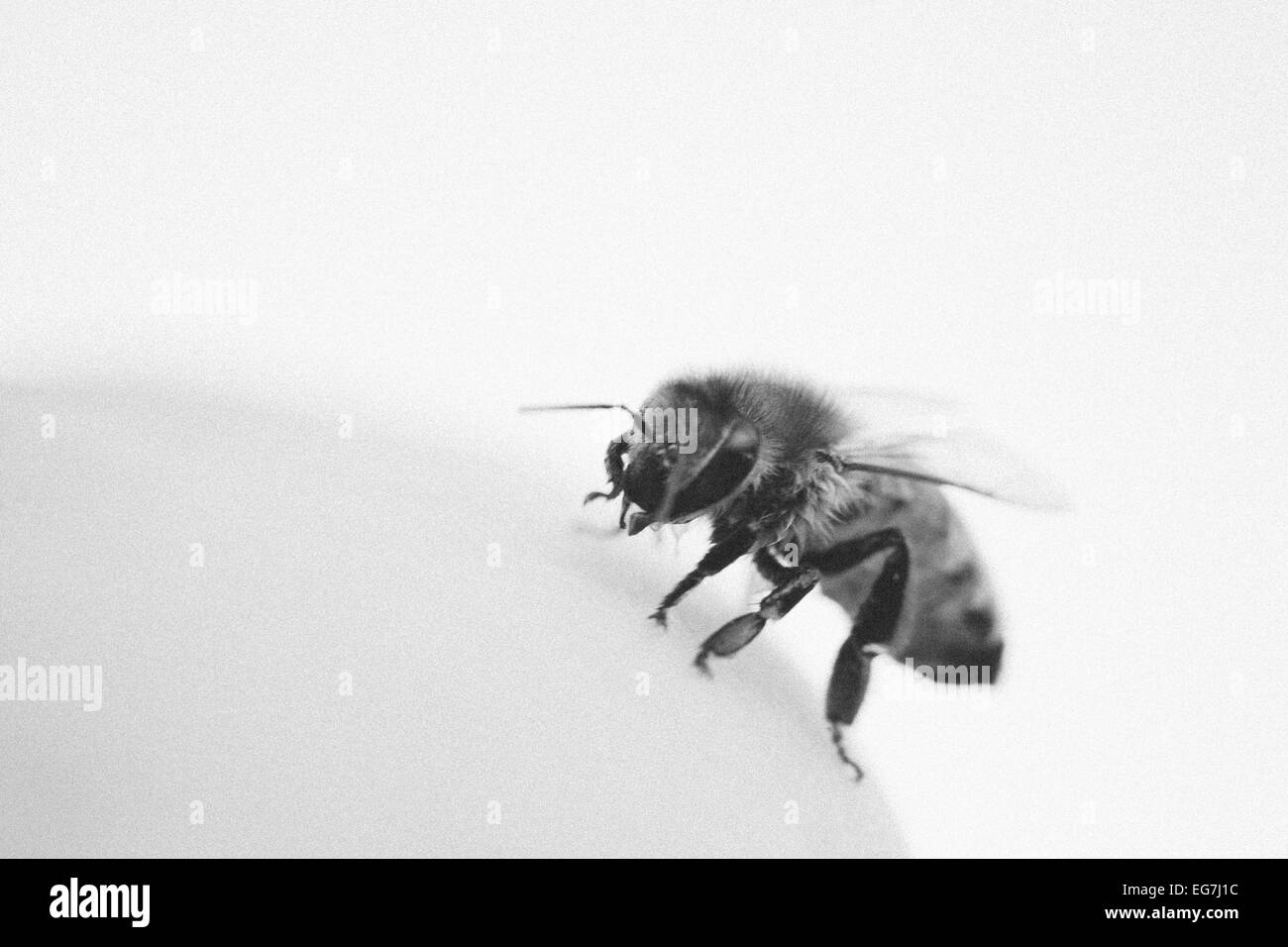 Black and white image of a bee cleaning itself - Stock Image