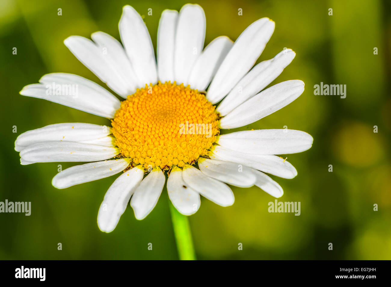 Daisy head and petals with an organic natural green background Stock Photo