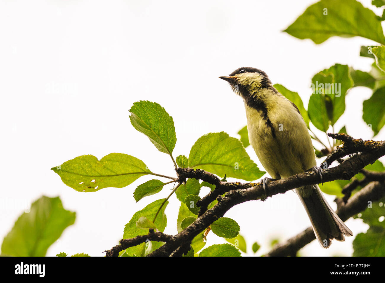 Female great tit (Parus Major) sitting on a branch, green leaves Stock Photo