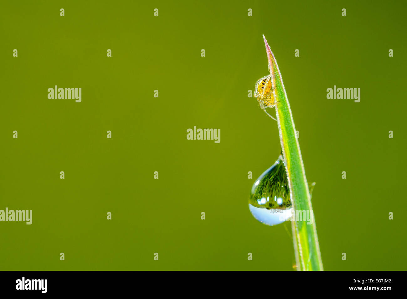 Little crab spider and water drop on leaf, mirroring. Clear green isolated background, morning freshness. Stock Photo
