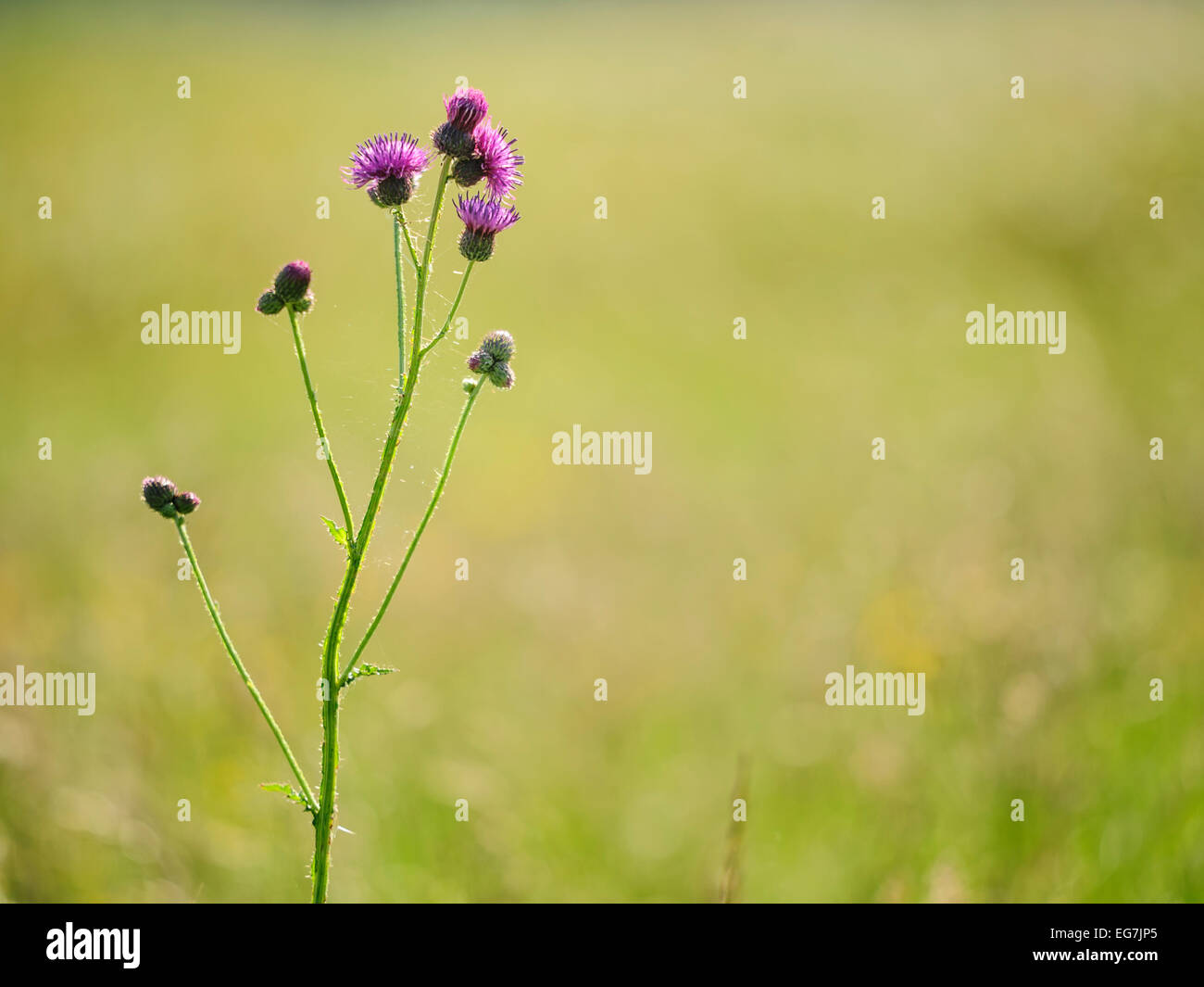 Purple thistle (Carduus) flower on blurred natural background. Stock Photo