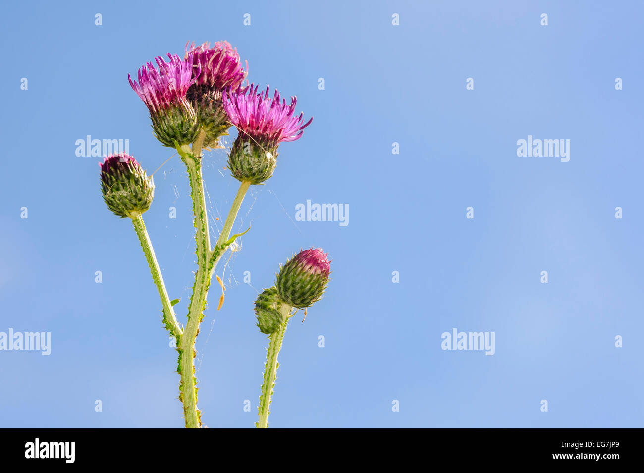 Purple thistle (Carduus) flower, blue sky in background. Stock Photo