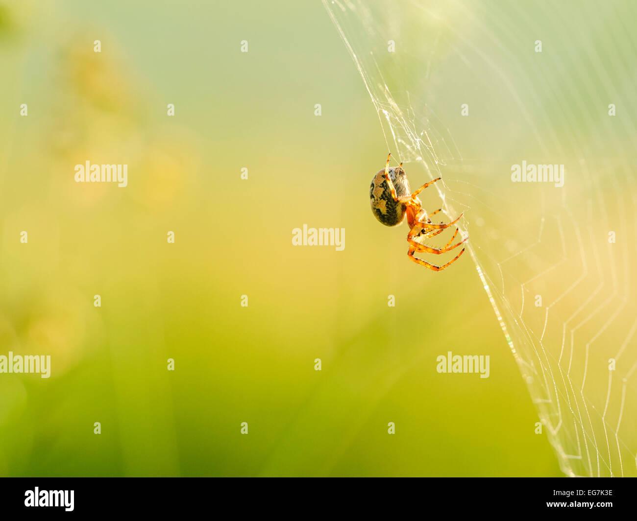 Cross spider (Araneus diadematus) closeup on web with a light blurred green yellow background. Stock Photo