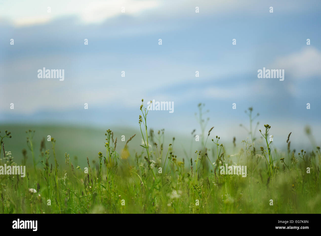 Lowering meadow, cloudy, green grass with white wildflowers and blue sky with clouds in background. Overcast, promising Stock Photo