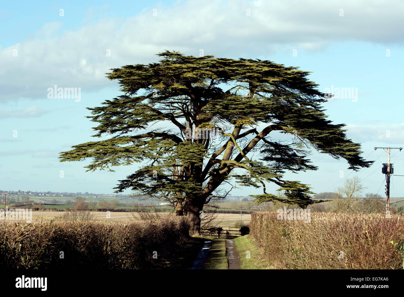 Cedar of Lebanon tree at Easton Maudit village, Northamptonshire, England, UK - Stock Image