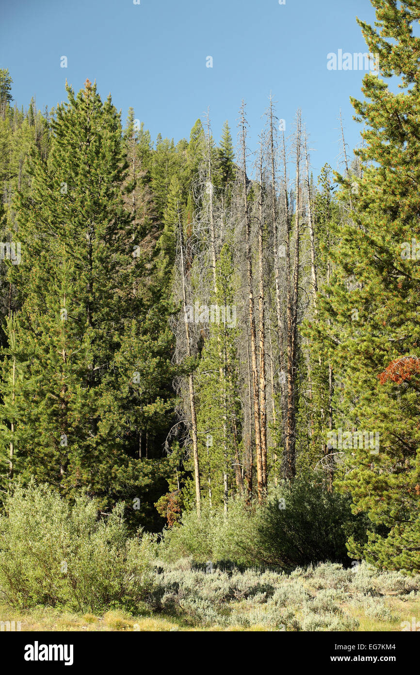 A stand of pine trees killed by the western pine betle - Stock Image