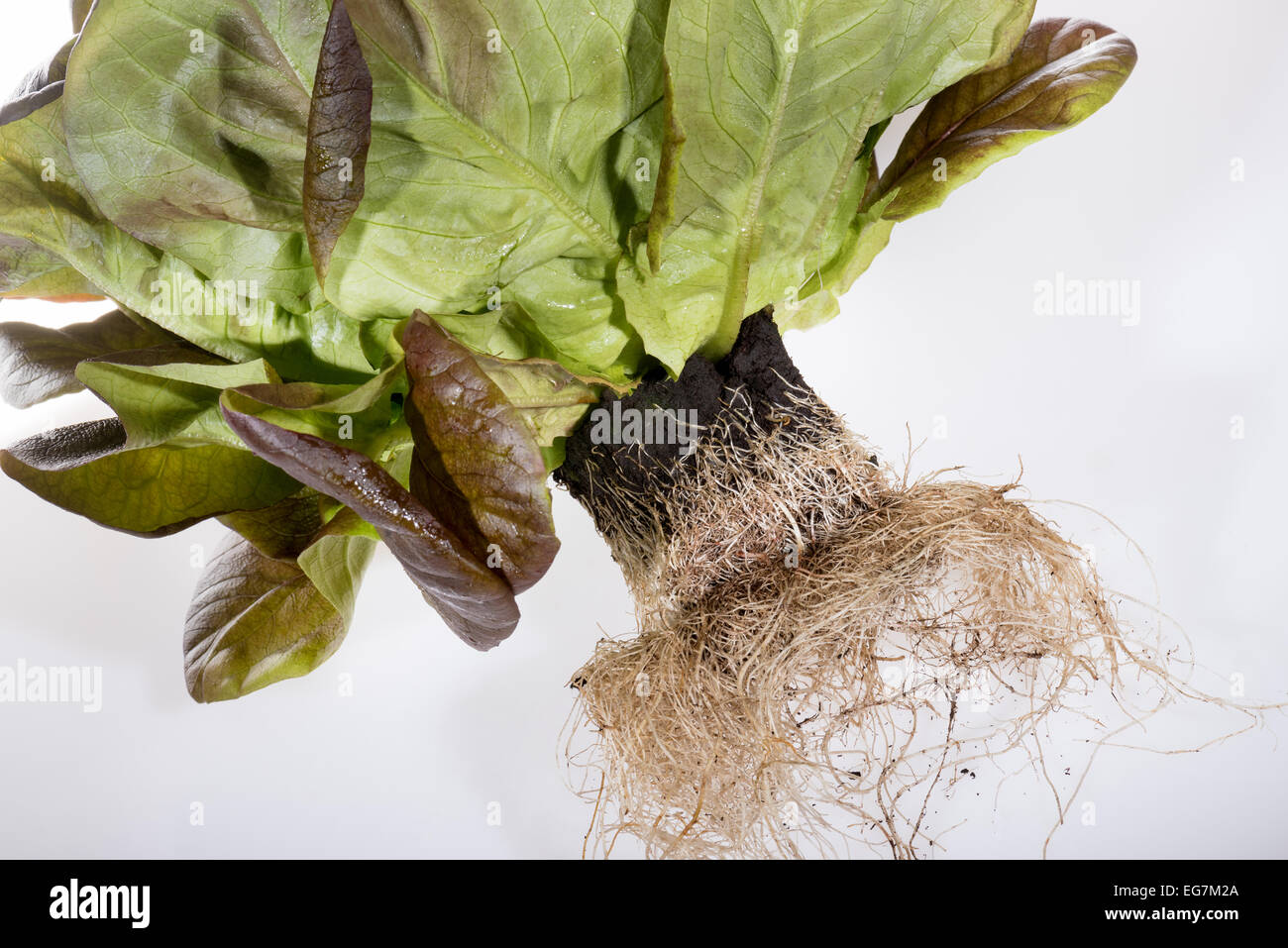 Salanova lettuce leaf salad sala nova fresh green health healthy sale with root bale with new breeding roots with - Stock Image