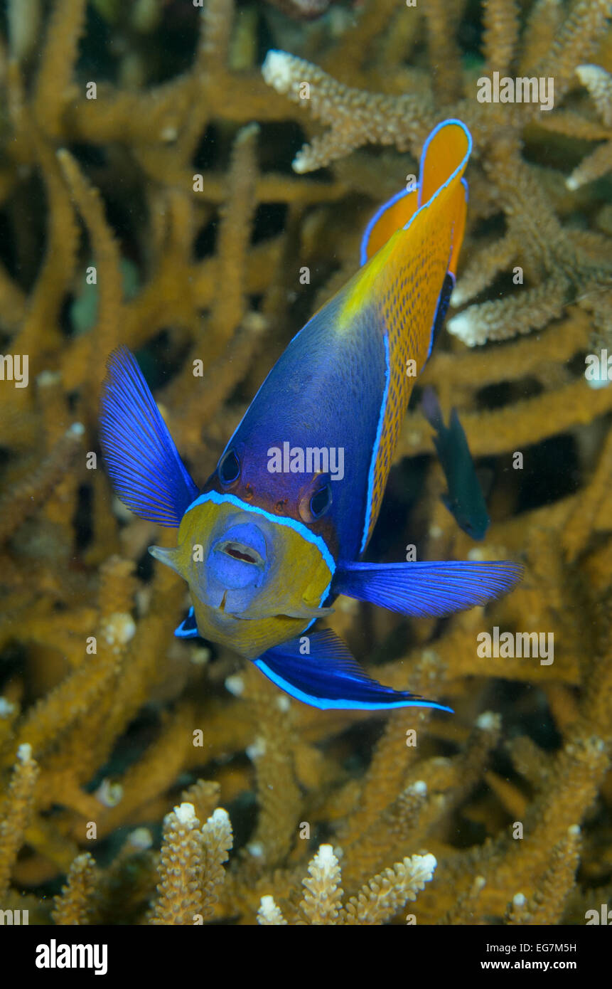 Majestic angelfish, Pomacanthus navarcus, at Menjangan, Bali, Indonesia. - Stock Image