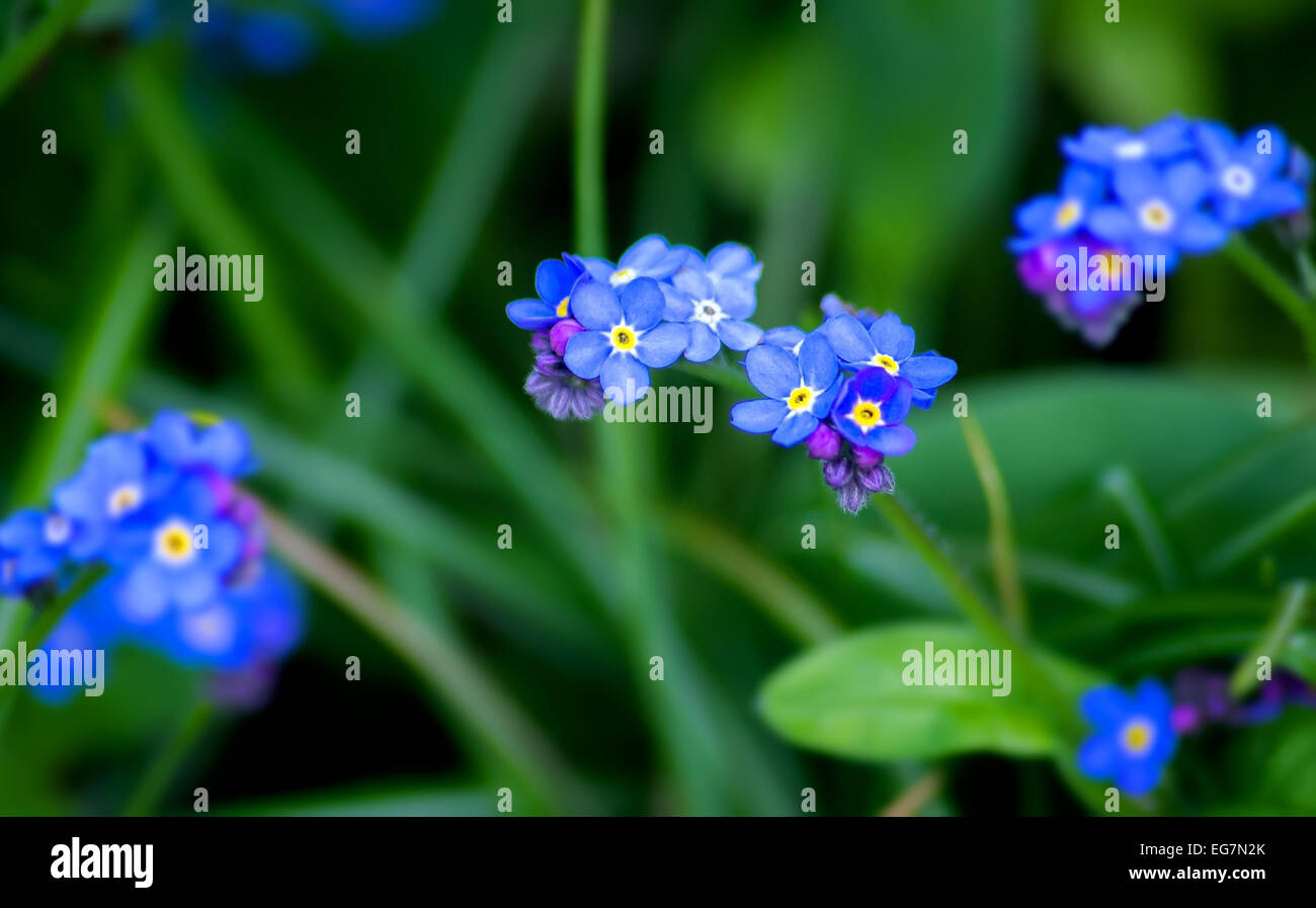Single Flower,Flower,Nature,Spring,Blue,Blossoming,forget me not - Stock Image