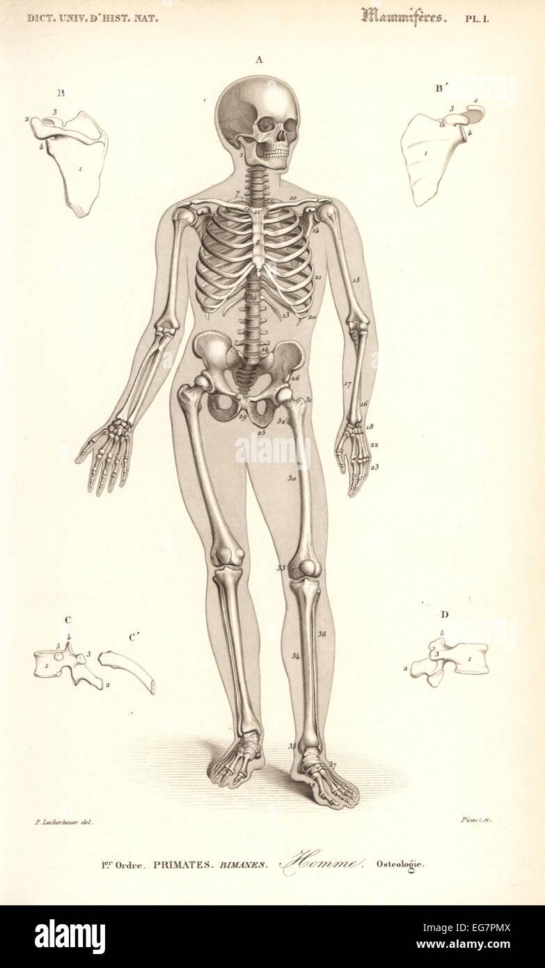 Osteology Stock Photos & Osteology Stock Images - Alamy