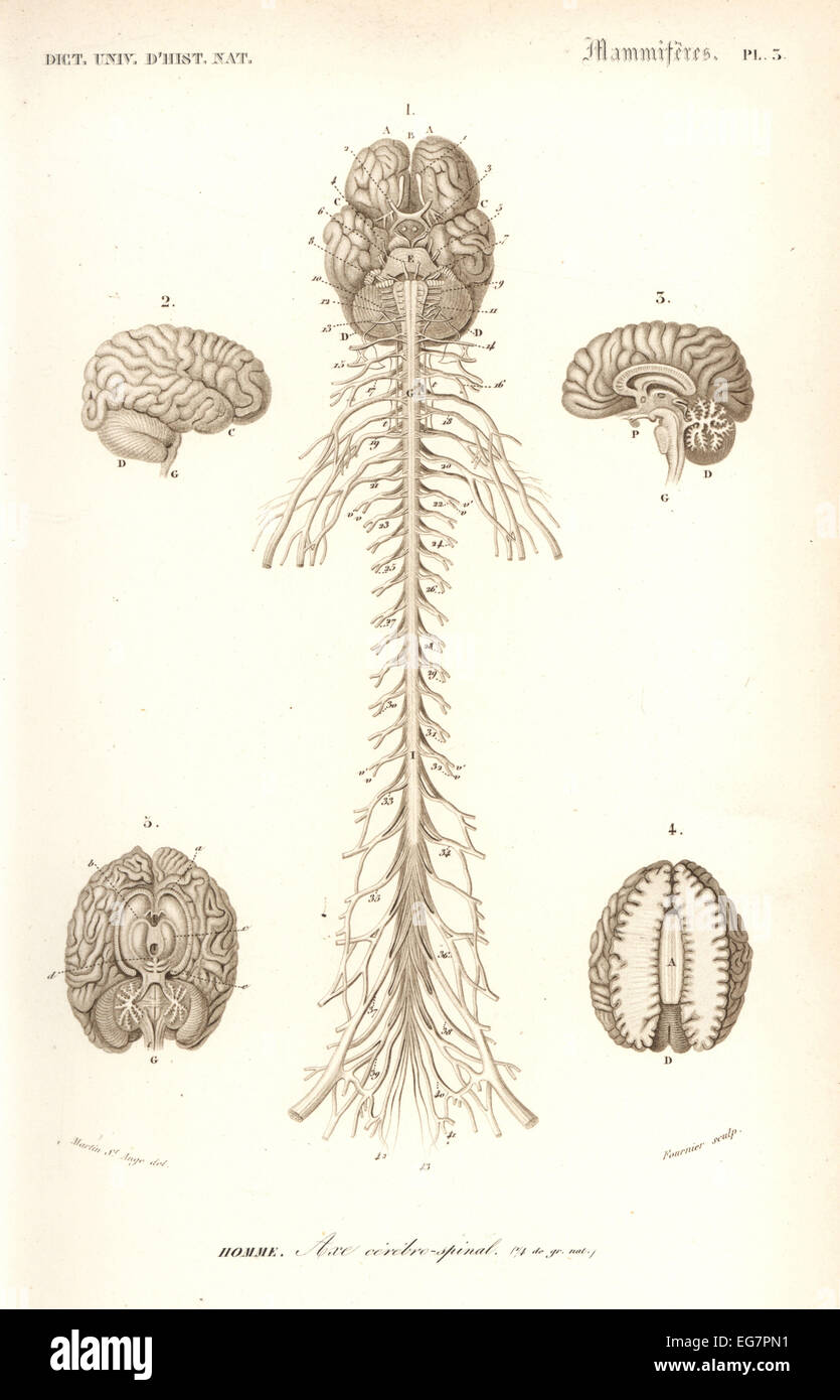 Human anatomy, nervous system, brain and spinal cord. - Stock Image
