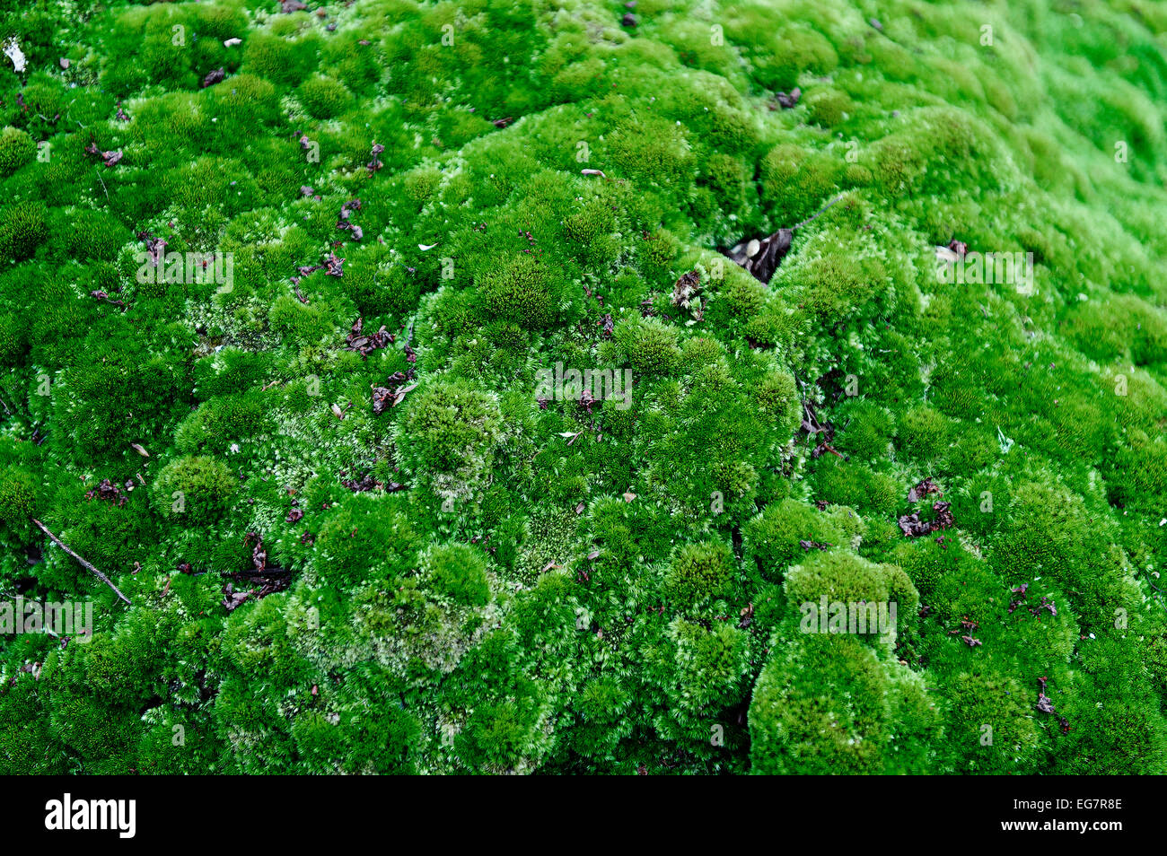 Moss detail. - Stock Image