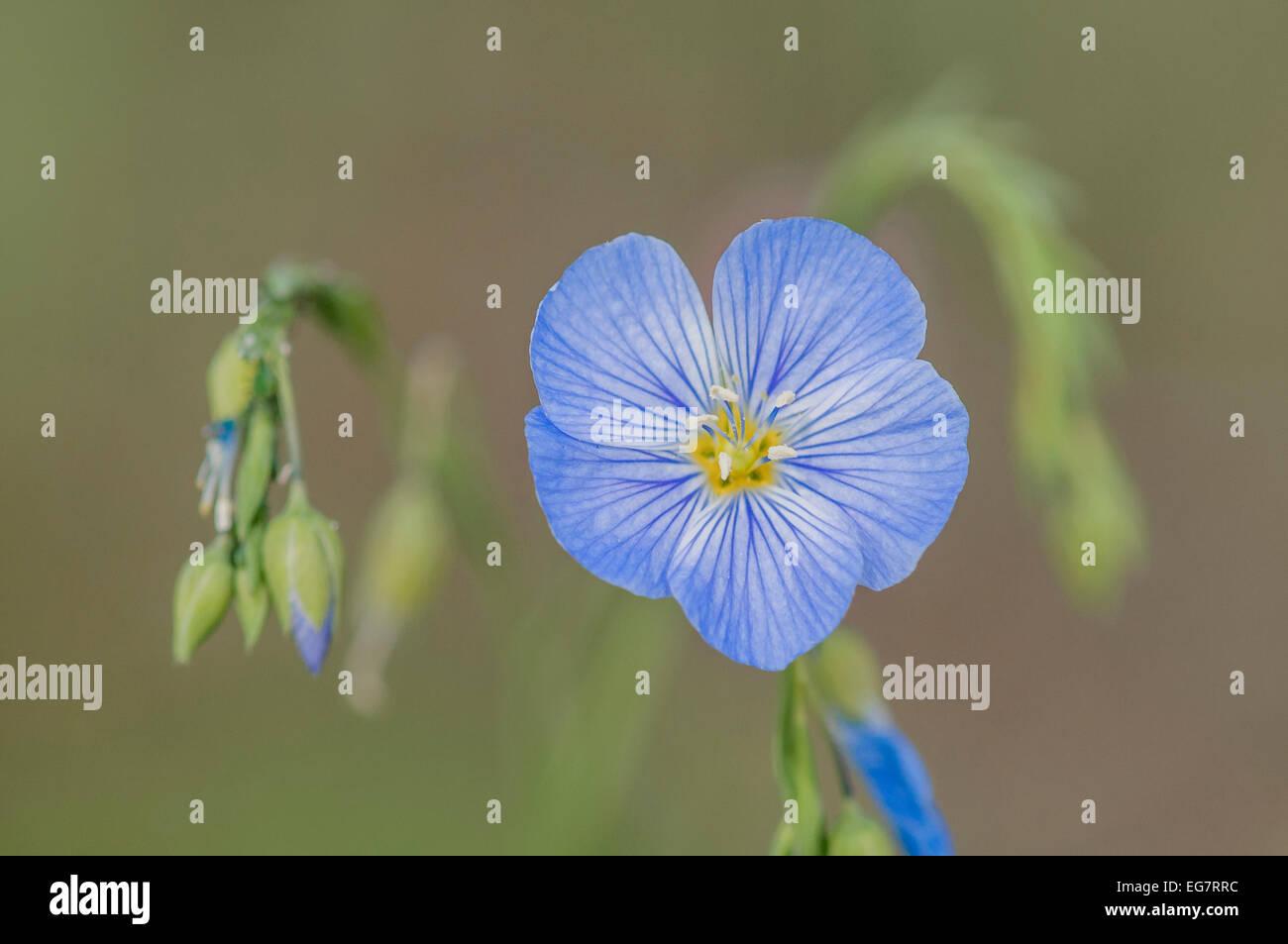 Wild blue flax, (Linum usitatissimum), Canmore, Alberta, Canada - Stock Image