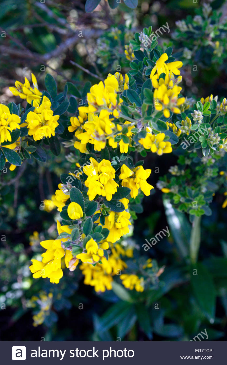 April Spring Yellow Pea Flower Shrub Stock Photos April Spring