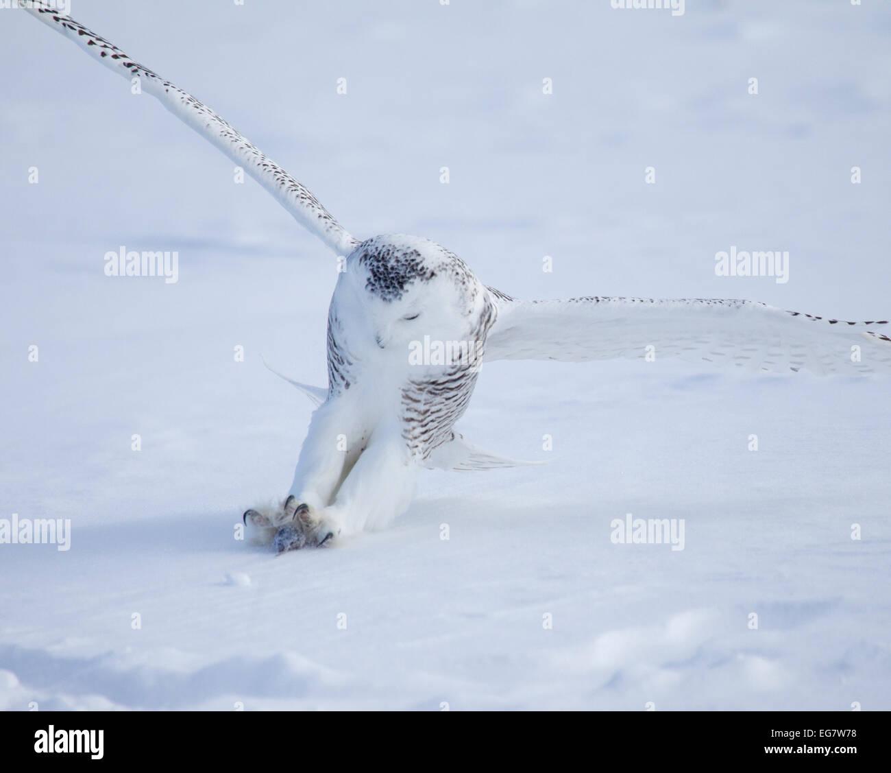Snowy Owl Striking Prey - Stock Image