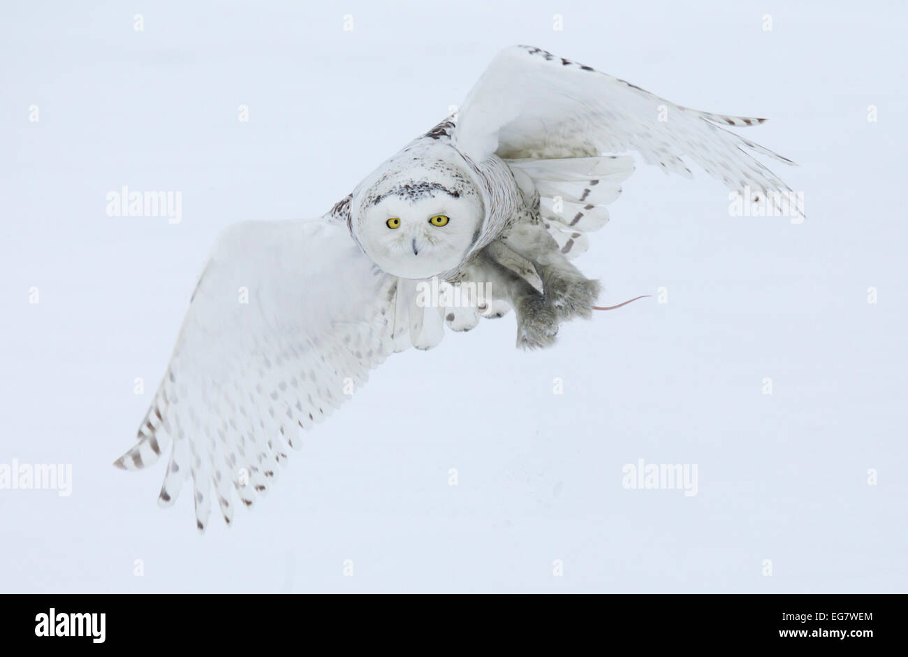 Snowy Owl in Flight Carrying Prey - Stock Image