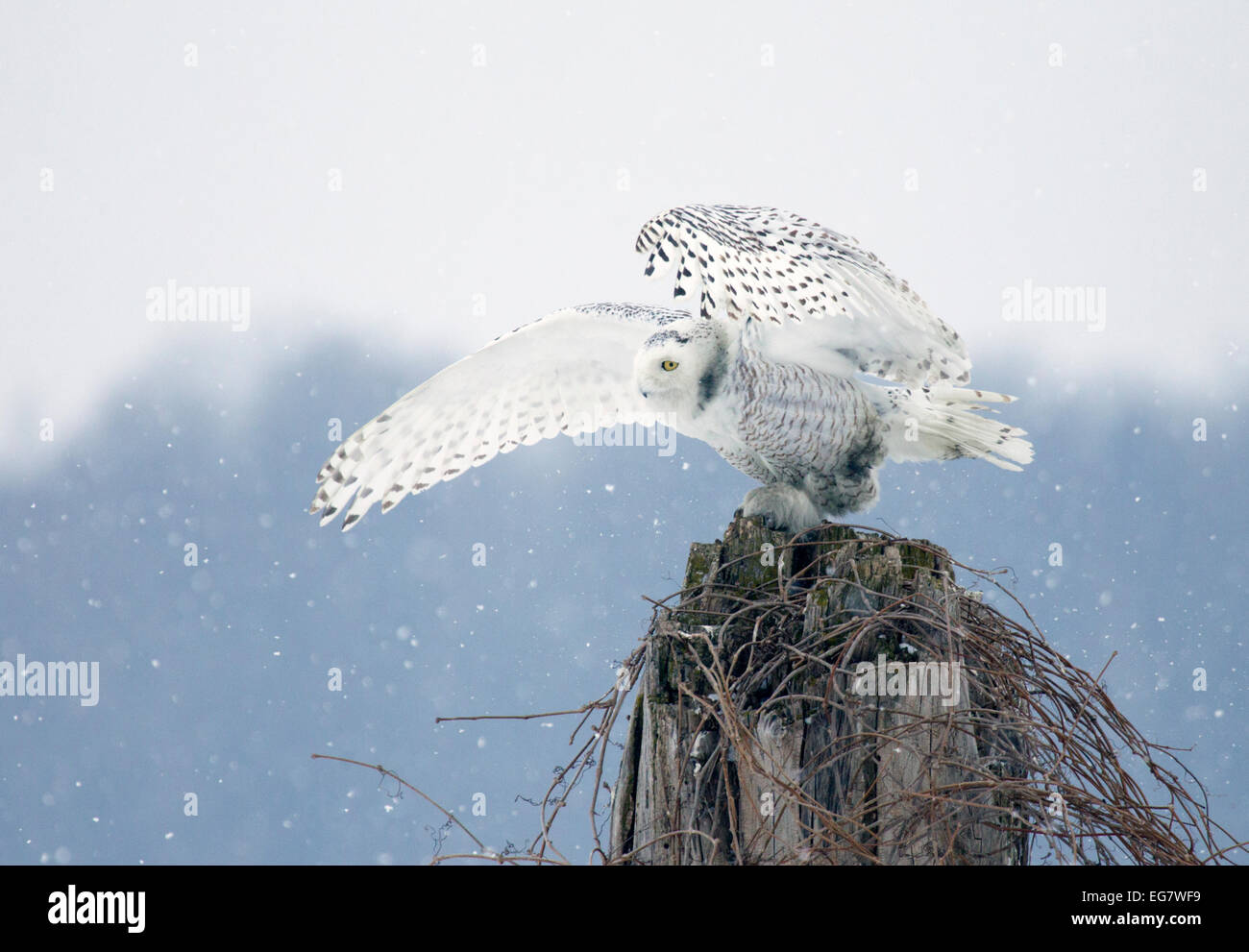 Snowy Owl Perched Snowing - Stock Image