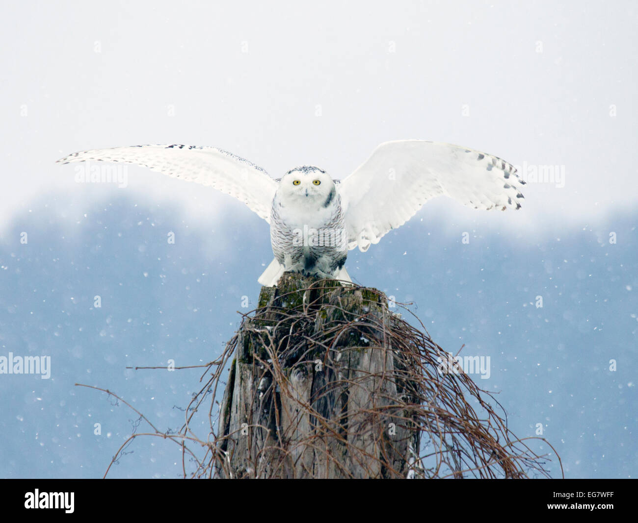 Snowy Owl Perched Wings Extended - Stock Image