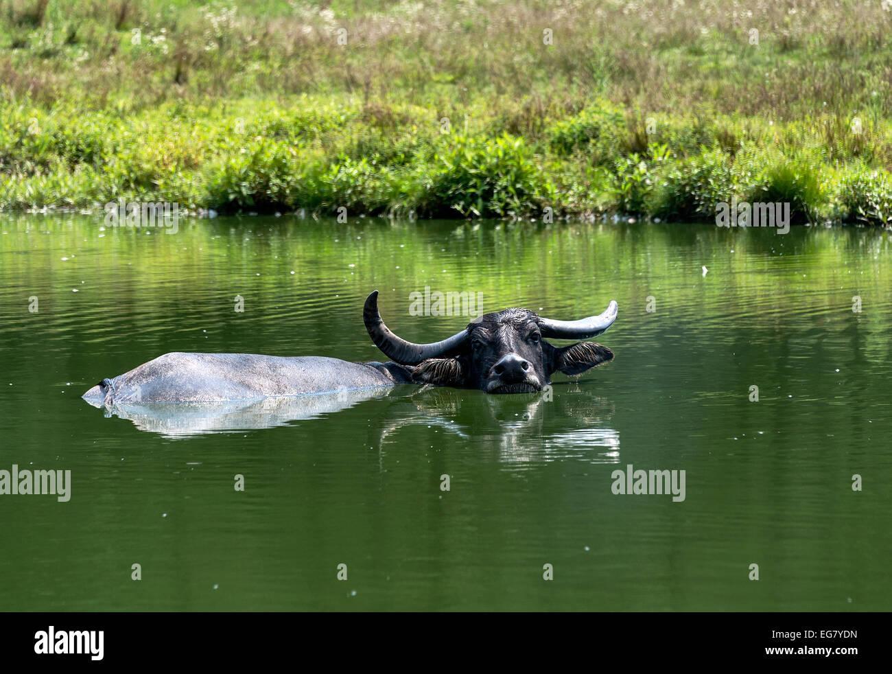 Water buffalo - Stock Image