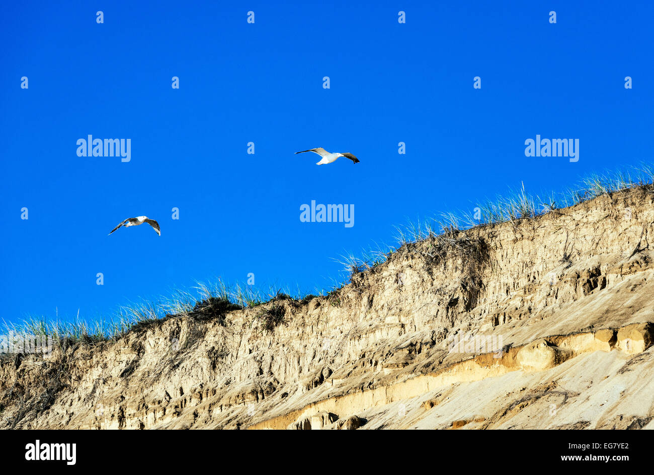 Seagulls soar over steep dune cliffs, Cape Cod National Seashore, Massachusetts, USA - Stock Image