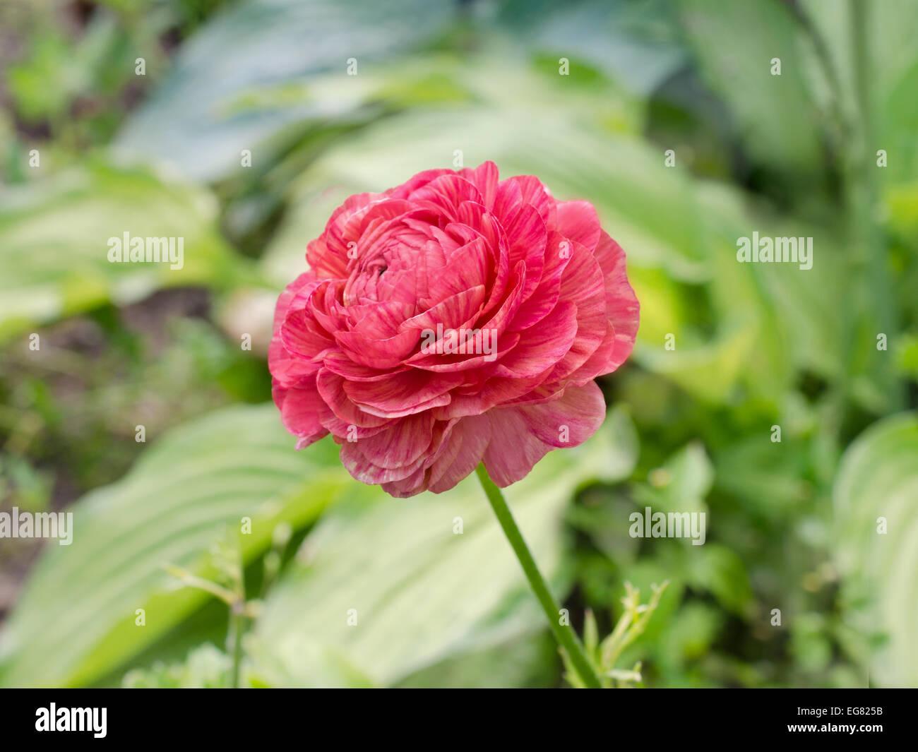Beautiful Single Ranunculus Flower Blooming Stock Photos Beautiful