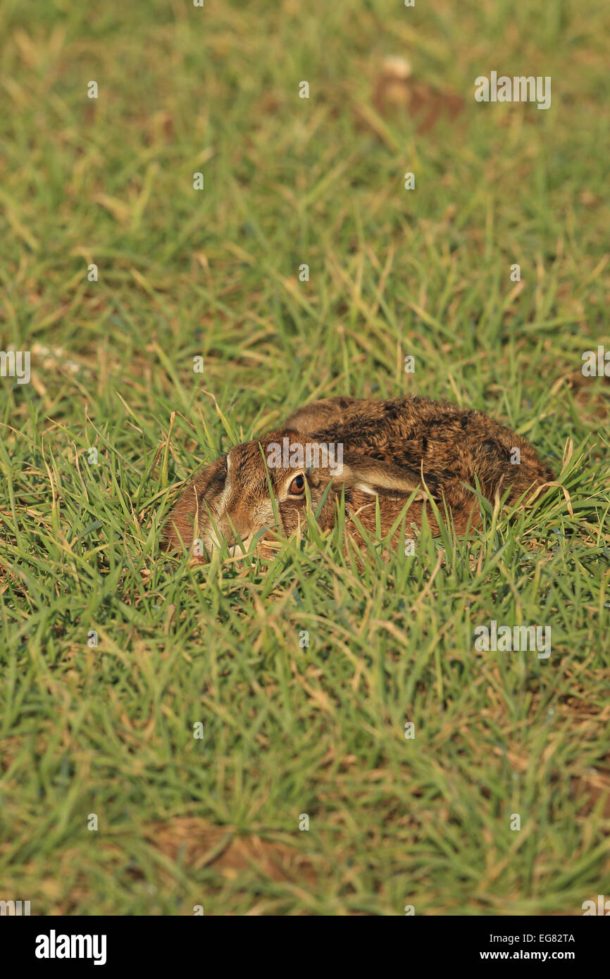 Brown Hare (Lepus europaeus) - Stock Image