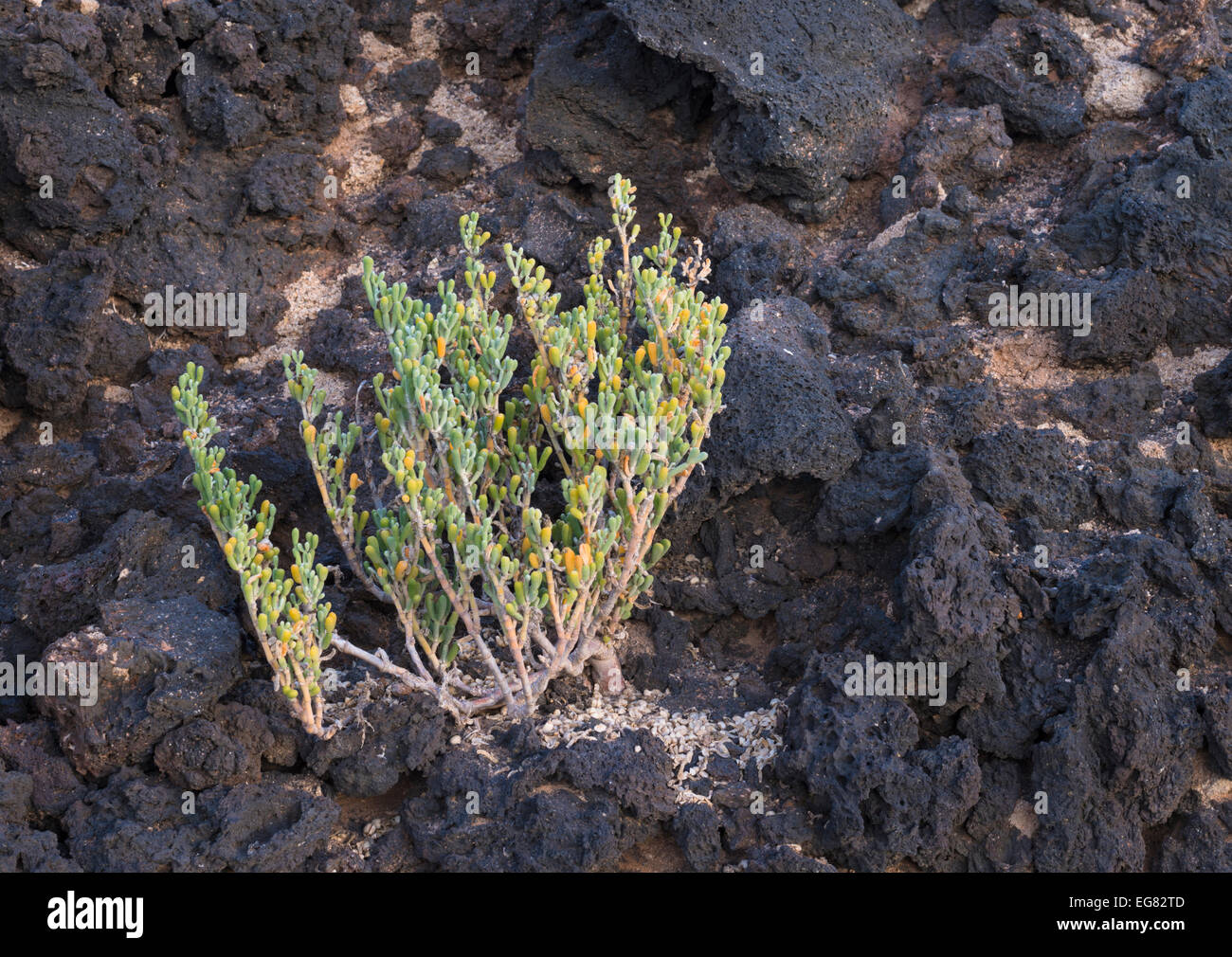 Zygophyllum fontanesii (uvilla de mar, sea grape), a very salt-tolerant plant which grows close to the sea in the Stock Photo