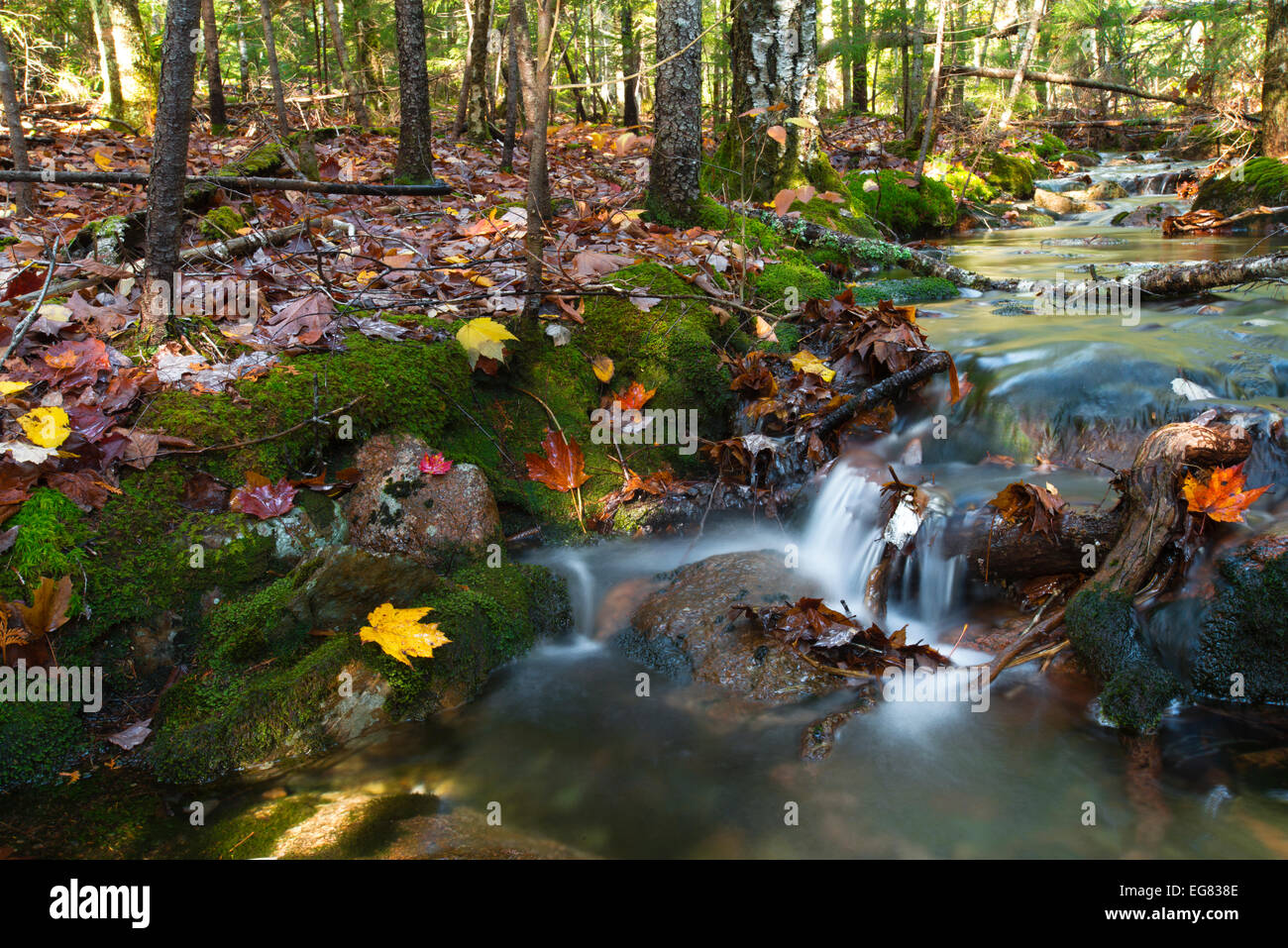 Forest harmony - Unnamed creek, Acadia National Park - Stock Image