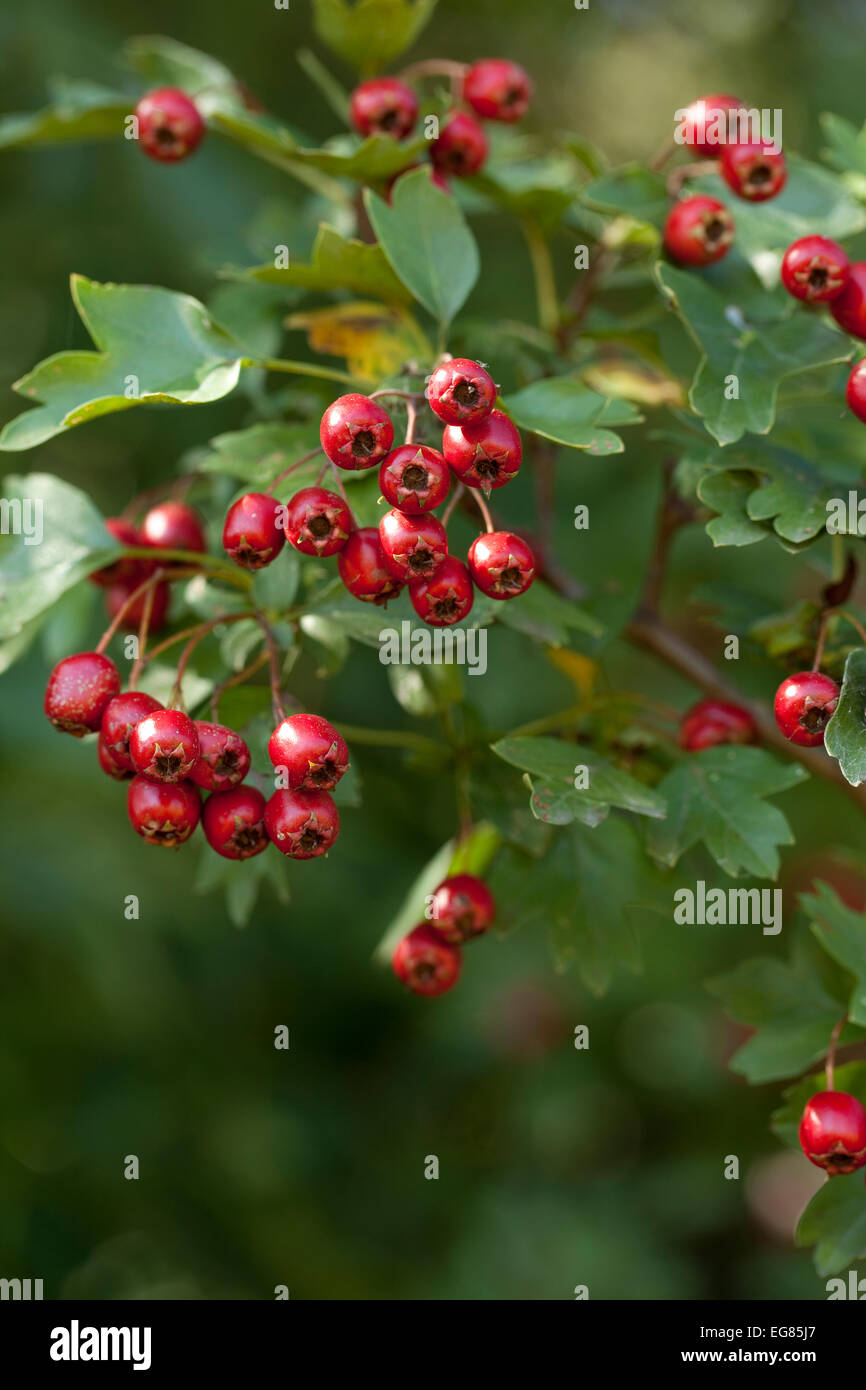 hawthorn tree (Crataegus monogyna) with red fruits - Stock Image