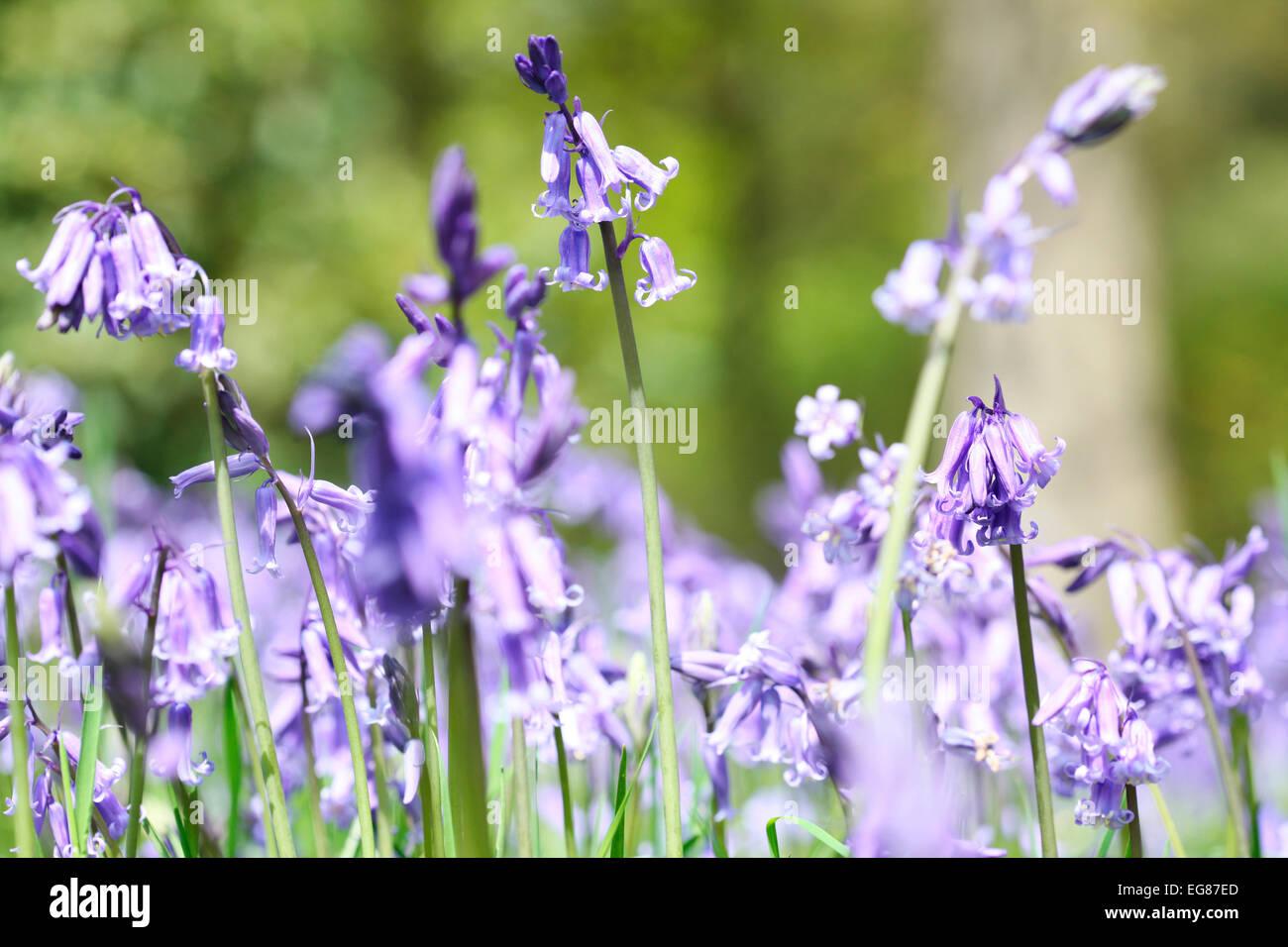 Gorgeous Landscape of Spring Bluebells in England Jane Ann Butler Photography JABP793 Stock Photo
