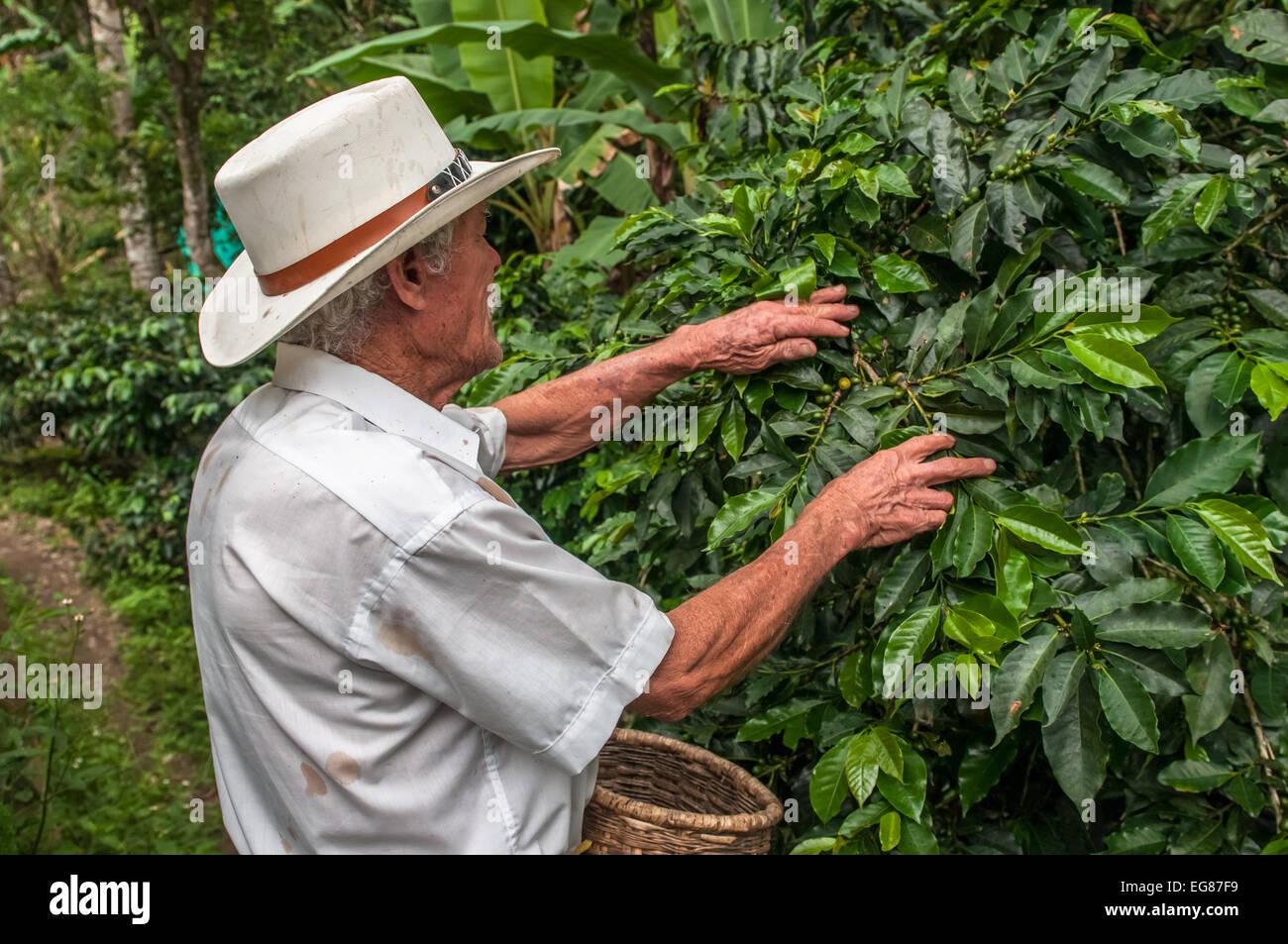 SALENTO, ZONA CAFETERIA, COLOMBIA - November, 28: Old farmer harvesting coffee beans on November, 28, 2009 in Salento, - Stock Image