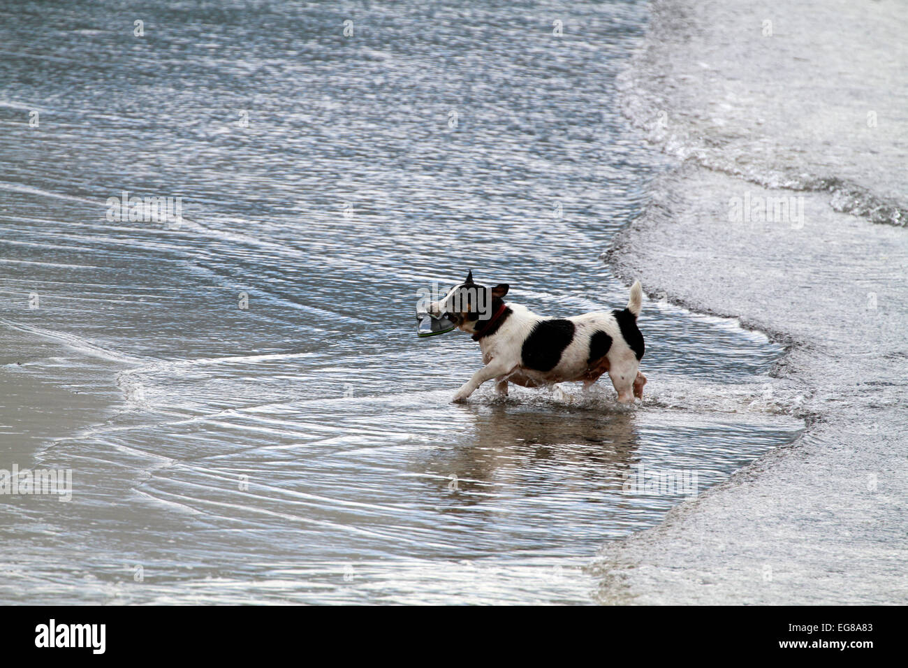 5200aee65 Dog retrieving his master s flip flop from the sea at Hout Bay beach near  Cape Town
