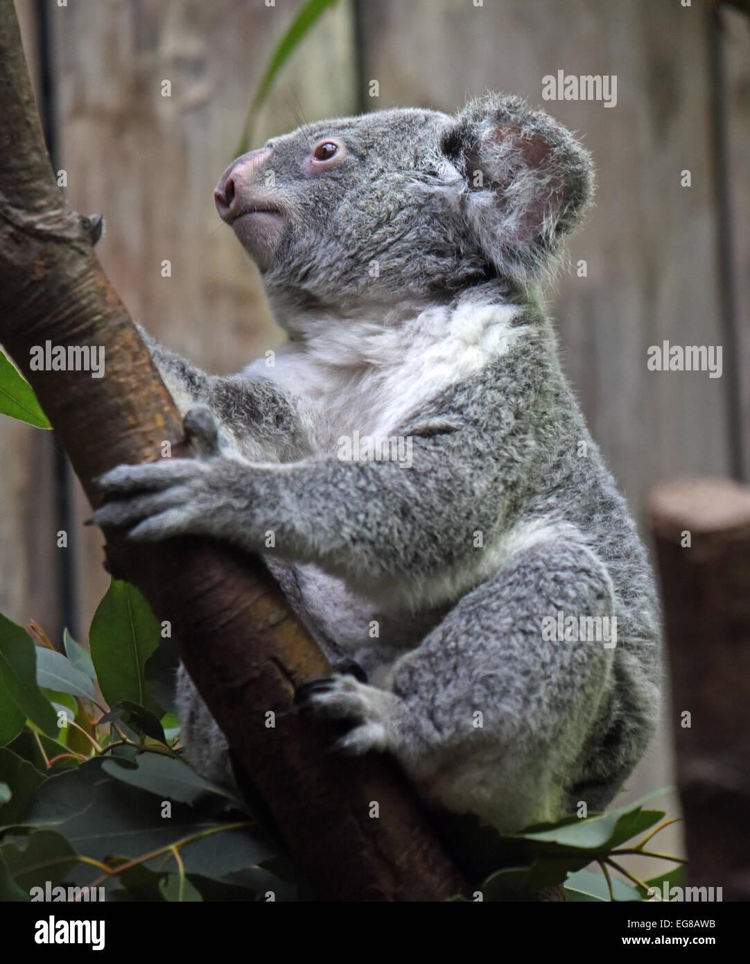 Duisburg, Germany. 29th Jan, 2015. A koala bear sits on a tree ...
