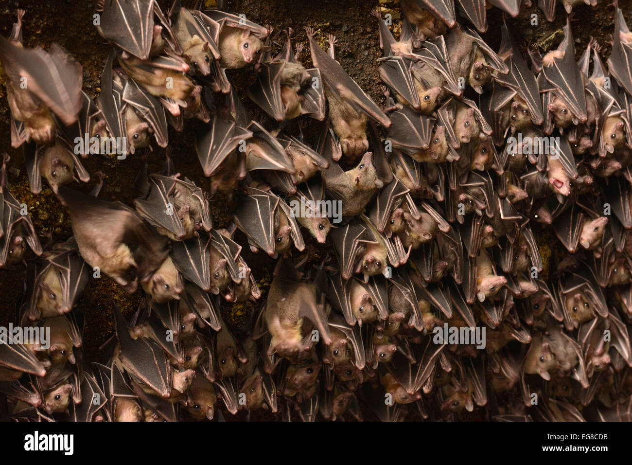 Egyptian Fruit Bat (Rousettus aegytiacus) colony roosting in mouth of cave, Bali, Indonesia, October - Stock Image