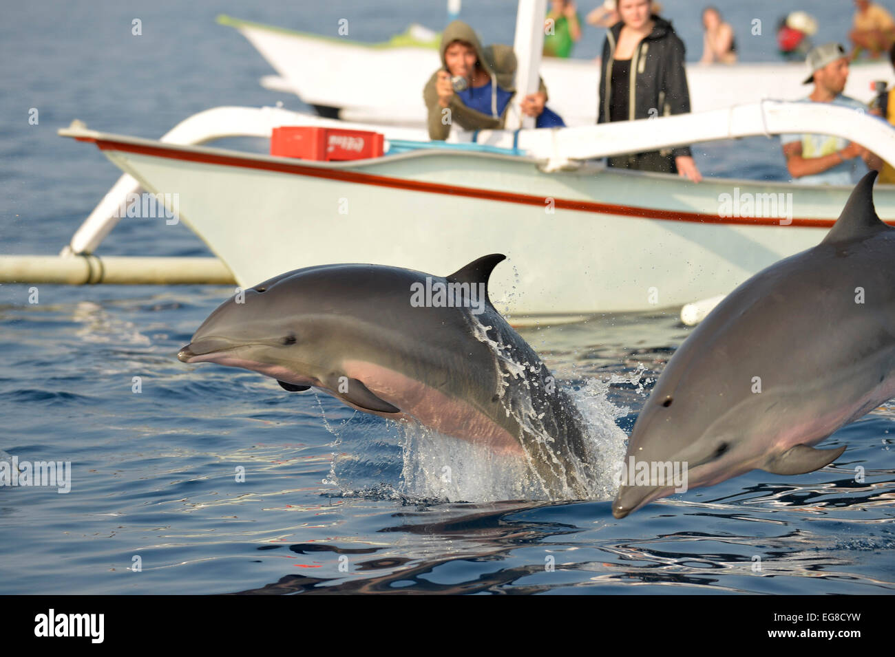 Frasers Dolphin (Lagenodelphis hosei) two dolphins leaping out of water, being watched by people on a boat, Bali, - Stock Image