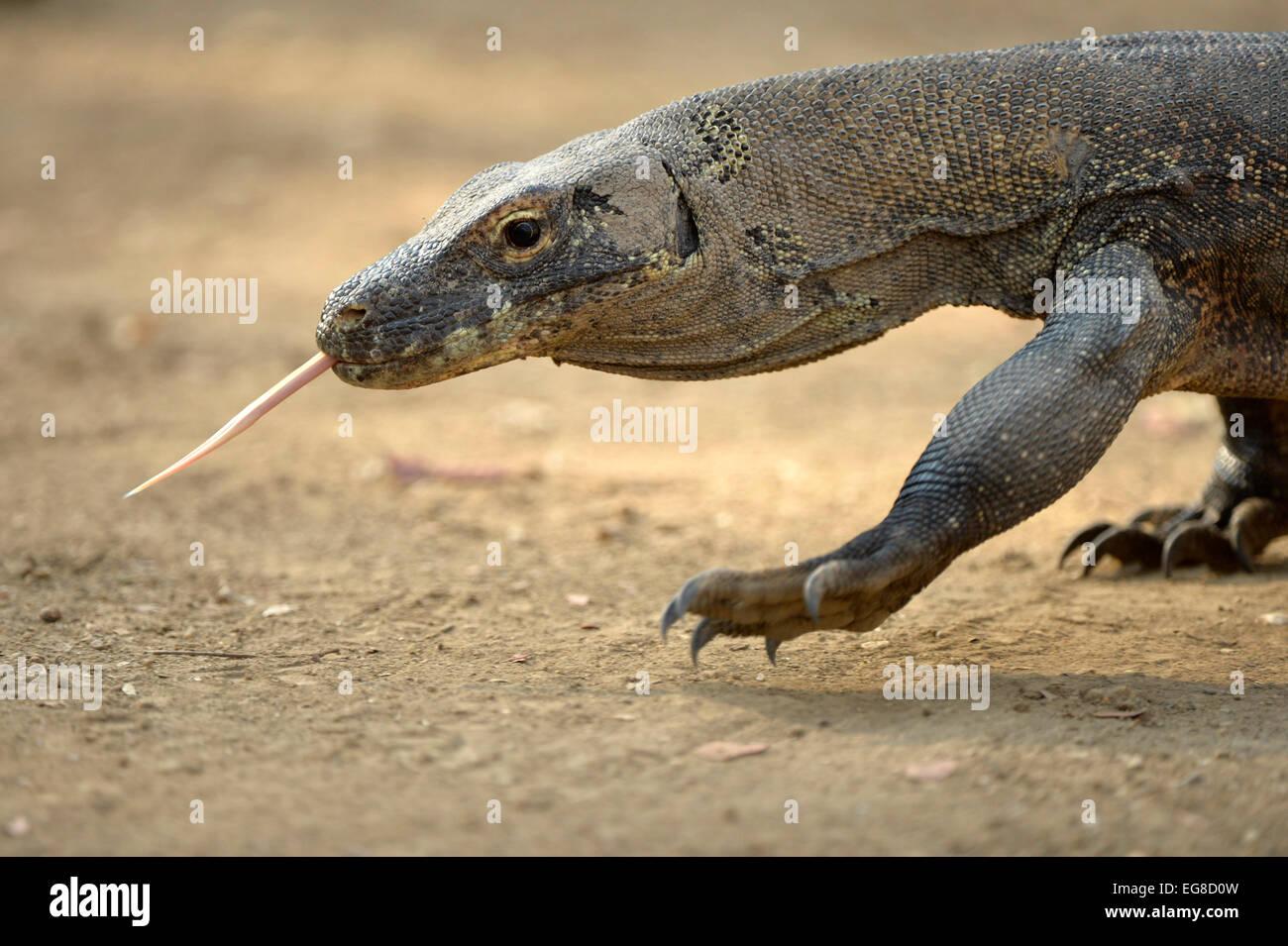 Komodo Dragon (Varanus komodoensis) walking with tongue extended, Komodo Island, Indonesia, October - Stock Image