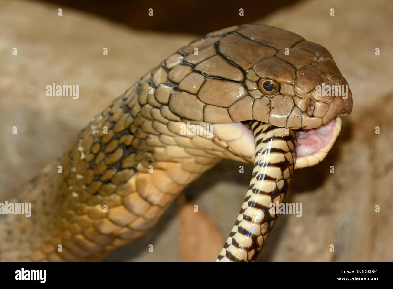 King Cobra (Ophiophagus hannah) swallowing a rat snake
